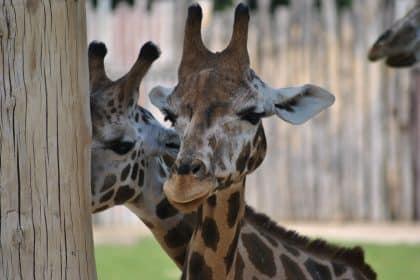 Der Dresdner Hof auf Safari