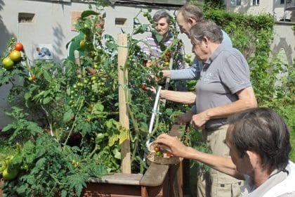 Tomaten-Ernte im Hof des Maximilianstiftes