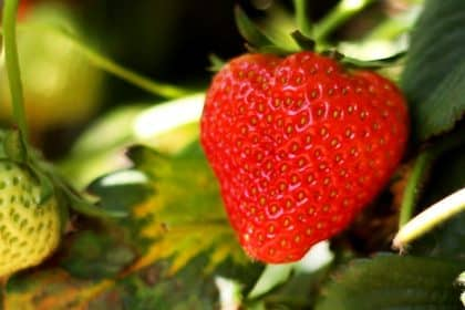 Erdbeerfest im Kapellenstift Wiesbaden