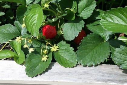 In Neuhaus sind die Erdbeeren reif!